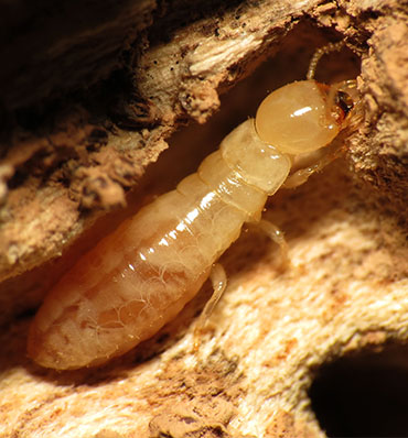 Diagnostic Termites Lyon